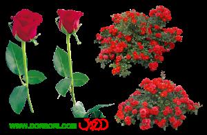 گل رز قرمز دوربری