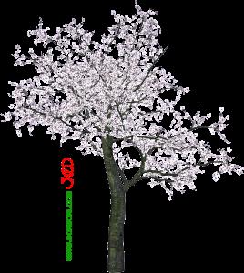 درخت شکوفه