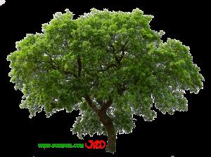 تصویر درخت png بدون پس زمینه