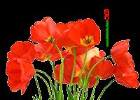 گل لاله نماد شهید