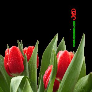 گل لاله قرمز png
